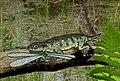 Gerobatrachus with prey SMALL.JPG