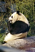 Giant Panda 2004-03-3.jpg