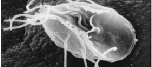 Flagellate - Parasitic excavate (Giardia lamblia)