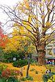 Ginkgo biloba - Hibiya Park.jpg
