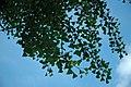 Ginkgo biloba leaves (Celina, Ohio, USA) 5 (49047516216).jpg