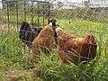 Gippsland - chicken tractor - CIMG0099.JPG