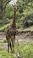 Giraffe, Kruger National Park (20315055422).jpg