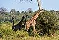 Giraffe, Tarangire National Park (23) (28101103604).jpg