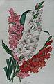 Gladioli Red, Pink & White by C.F. Cheffins, 1860.jpg