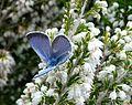 Glaucopsyche melanops. Black-eyed blue. Lycaenidae - Flickr - gailhampshire.jpg