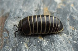 meaning of millipede