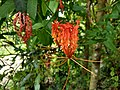 Gloriosa superba, Glory Lily, Gloriosa lily, climbing lilly. Kaithonni 3.jpg