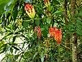 Gloriosa superba, Glory Lily, Gloriosa lily, climbing lilly. Kaithonni 4.jpg