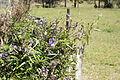 Glycine clandestina plant14 (15285835662).jpg