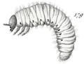 Gnorimus variabilis larve.png