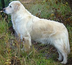 Golden Retriever (Tina).JPG