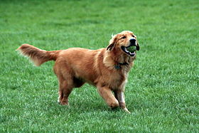Un golden retriever con una pelota de tenis.