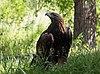 Golden eagle at ACES (11824).jpg