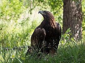 Un aigle royal (Aquila chrysaetos). (définition réelle 3450×2552)