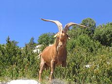 Gorge du Verdon Goat 0254