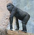 Gorilla Tierpark Hellabrunn-17.jpg