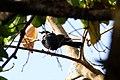 Grafisia Torquata (White-collared Starling).jpg