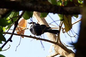 Grafisia Torquata (White-collared Starling).jpg