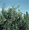 Granaatappelboom met vruchten, Bestanddeelnr 255-9359.jpg