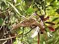 Graphium agamemnon - Tailed Jay mating at Ernakulam (5).jpg