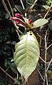 Graptophyllum pictum 01.JPG