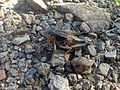 Grasshopper in Davis Mountain Preserve.JPG
