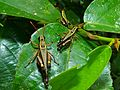 Grasshoppers (Traulia sp.) (8096873552).jpg