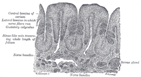 Human غدة تحت الفك السفلي. At the right is a group of mucous alveoli, at the left a group of serous alveoli