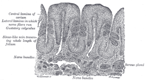 Serous gland - Vertical section of papilla foliata of the rabbit, passing across the folia. (Serous gland labeled at bottom right.)