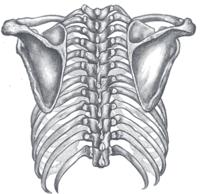 Orientation of the rib cage on the vertebral column