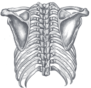 Posterior median line - Posterior view of the thorax and shoulder girdle.