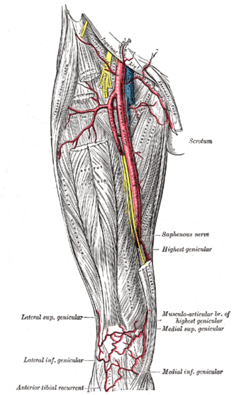 Adductor canal - The femoral artery. (Canal not labeled, but region visible at center right.)