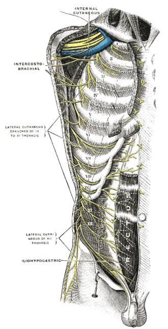 Axillary vein - Image: Gray 821