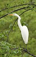 Great Egret (34761824285).jpg