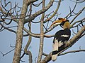 Great Hornbill DSCN8644 07.jpg