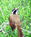 Great Kiskadee (26369994655).jpg
