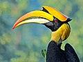 Great hornbill (Buceros bicornis) Photograph by Shantanu Kuveskar.jpg