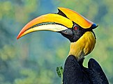 Great hornbill with a casque