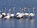 Greater Flamingos (44750701041).jpg