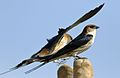 Greater Striped Swallow, Hirundo cucullata (syn. Cecropis cucullata), at Marievale Nature Reserve, Gauteng, South Africa (29874627153).jpg