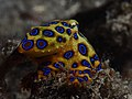 Greater blue-ringed octopus (Hapalochlaena lunulata) (16219454856).jpg
