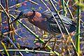 Green Heron (Butorides virescens) (6852446958).jpg