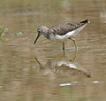 Green Sandpiper (Tringa ochropus)- In Breeding plumage at Bharatpur I IMG 5505.jpg
