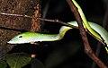 Green Vine Snake Ahaetulla nasuta by Dr. Raju Kasambe DSCN0089 (5).jpg