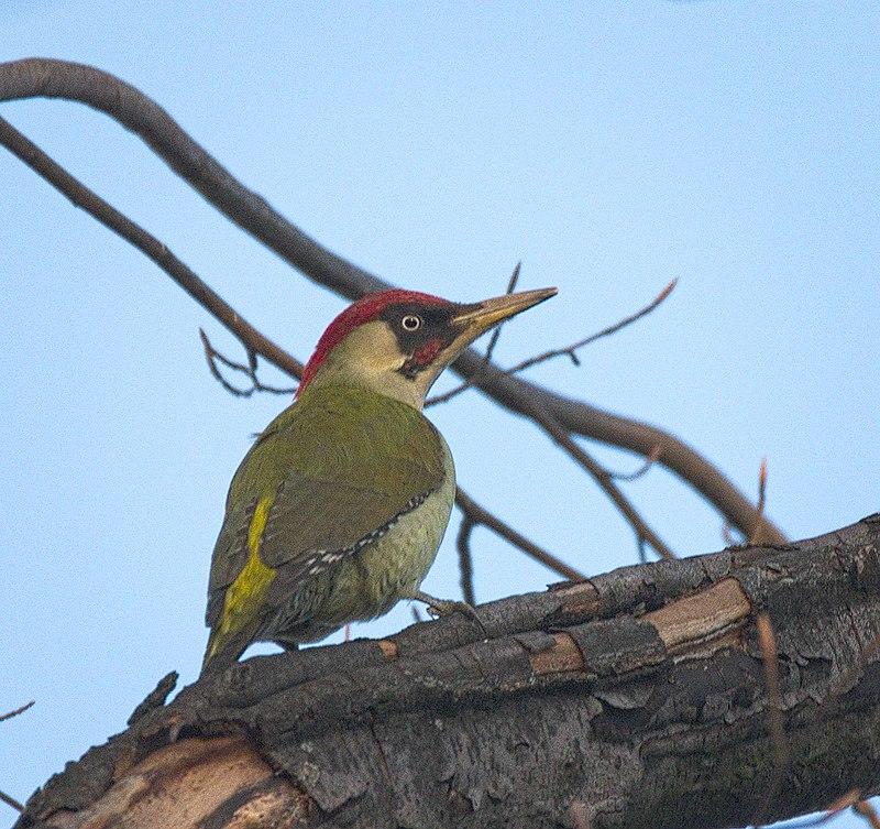 Picus viridis - Picchio verde - uccelli