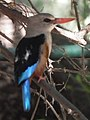 Grey-headed Kingfisher Halcyon leucocephala in Tanzania 2212 cropped Nevit.jpg