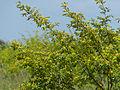 Grey Raisin (Grewia monticola) (11530332546).jpg