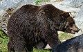 Grizzly Bear 6 (7974494414).jpg