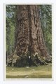 Grizzly Giant, Grove of Big Trees, Mariposa, Calif (NYPL b12647398-73966).tiff